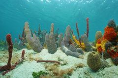 Sea sponges underwater on seabed of Caribbean sea Stock Image