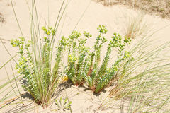 Sea spurge. Stock Photography