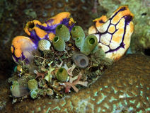 Sea squirt. And tunicates growing on brain coral on coral reef royalty free stock image