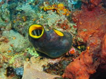 Free Sea Squirt Stock Images - 68772534