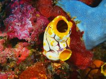 Sea squirt. The amazing and mysterious underwater world of Indonesia, North Sulawesi, Bunaken Island, sea squirt royalty free stock photography