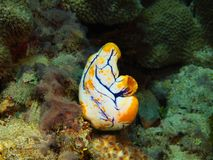 Sea squirt. The amazing and mysterious underwater world of Indonesia, North Sulawesi, Bunaken Island, sea squirt royalty free stock images