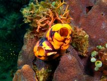 Sea squirt. The amazing and mysterious underwater world of the Philippines, Luzon Island, sea squirt Stock Photography