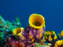 Sea squirt. The amazing and mysterious underwater world of the Philippines, Luzon Island, sea squirt royalty free stock images