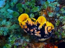 Sea squirt. The amazing and mysterious underwater world of the Philippines, Luzon Island, sea squirt stock photo