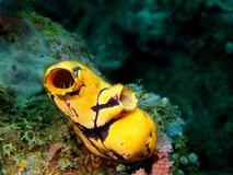 Sea squirt. The amazing and mysterious underwater world of the Philippines, Luzon Island, Anilаo, sea squirt royalty free stock photography