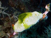 Sea Squirt. Didemnum molle Scientific Name: Didemnum molle Class: Ascidiacea Category: Tunicates Sea Squirt, Didemnum molle, is a tunicate family of Didemnidae stock photos