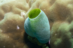Sea Squirt. Green Sea Squirt in the Great Barrier Reef. Also known as the tall urn ascidian, the green barrel sea squirt or the green reef sea-squirt stock photos