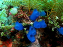 Sea squirt. The surprising underwater world of the Bali basin, sea squirt royalty free stock photography