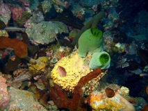 Sea squirt Stock Photo