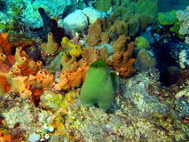 Sea squirt Royalty Free Stock Images