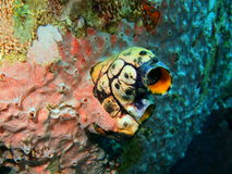 Sea squirt. The surprising underwater world of the Bali basin, Island Bali, Lovina reef, sea squirt Stock Photo