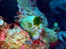 Sea squirt Stock Image