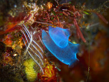 Sea squirt Stock Image