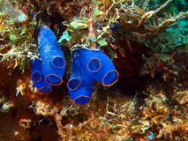 Sea squirt Stock Photography