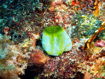 Sea squirt Royalty Free Stock Photos