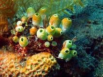Sea squirts Stock Photo