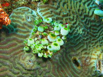 Sea squirts Royalty Free Stock Photos
