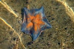 Free Sea Star Stock Photo - 13907960