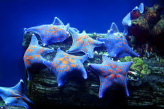 Sea star. The sea stars living in Red sea Royalty Free Stock Photos