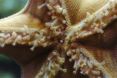 Sea Star. The tube feet of a sea star Stock Photo