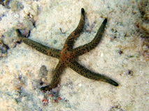 Sea Star. This is a linckia multifora, a brown sea star that lives in Maldivian Ocean Stock Images