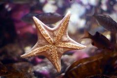 Sea star on aquarium wall. Stuck to the glass Stock Image