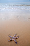 Sea star on beach. Colorful sea star or starfish on sandy beach Royalty Free Stock Photos