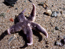Sea Star on beach Stock Photography