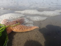 Sea star Stock Photography