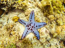 Sea star on bottom. Underwater photo. Tropical seashore. Coral reef and blue starfish. Royalty Free Stock Photos