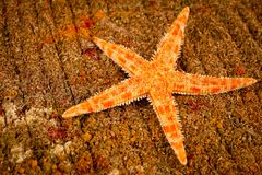 Sea star bright orange color shot close-up