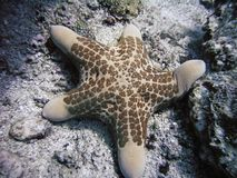 Sea star Choriaster granulatus Stock Photography