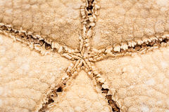 Sea Star Royalty Free Stock Photos