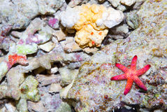 Sea star in the coral reef on Bali sea Stock Photos