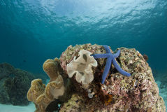 Sea Star and Coralhead Landscape Royalty Free Stock Image