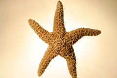 Sea Star, dried. On yellow background stock images