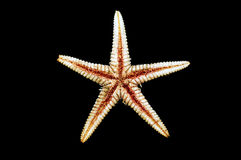 Sea-star endoskeleton Royalty Free Stock Photography