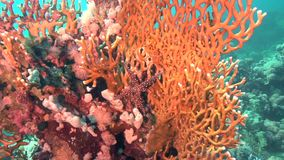 Sea star on fire coral in Red sea Sudan. Sanganeb stock video footage