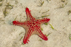 Sea star fish Stock Images