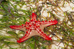 Sea star fish Royalty Free Stock Photo