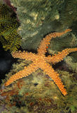 Sea Star, Mabul Island, Sabah Royalty Free Stock Photos