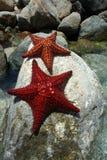 Sea Star on Rocks. Sea star laying on rocks in Aruba Royalty Free Stock Images