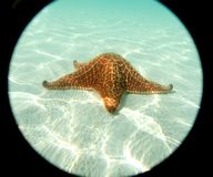 Sea star at the sand bottom of the fine sea. Moving, Carib sea, Cuba, Underwater picture Royalty Free Stock Photo