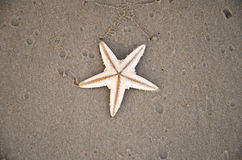 Sea star on sandy beach Royalty Free Stock Image