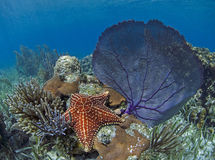 Sea Star and Sea Fan Underwater. In the Galapagos Islands Stock Photos