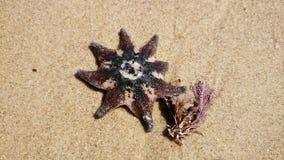 Starfish and Seaweed Stock Photography