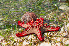 Sea star and shell Stock Image