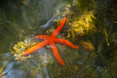 Sea Star. This shot is from `La Restinga`, Margarita Island, Venezuela, Caribean sea, in a mangrove forest Stock Images