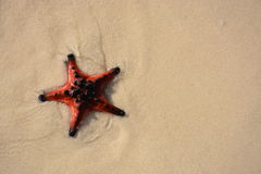 Sea star. A single pink starfish in the sand on the beach on the island Phu Quoc, Vieetnam Stock Photo